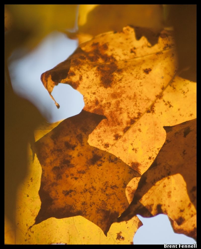autumn leaves profile by Brent Fennell