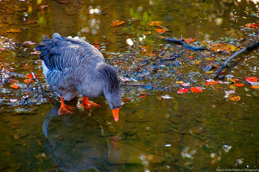 Photo in Random #geese #fall #autumn #ducks #birds #leaves #pond #animals