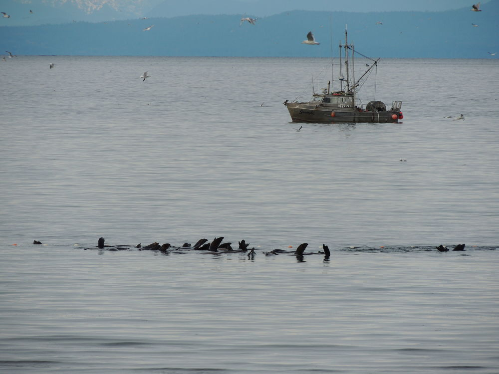 Herring Fishing with help from seals by NancyTaylorMajor