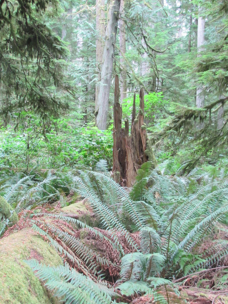 Cathedral Grove by NancyTaylorMajor
