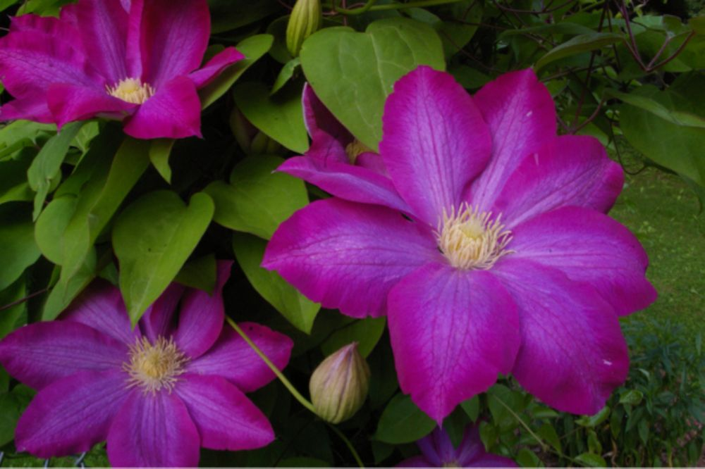 Clematis by ROCKGOD