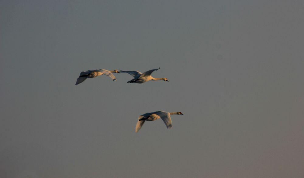 geese. by LunaLeiii