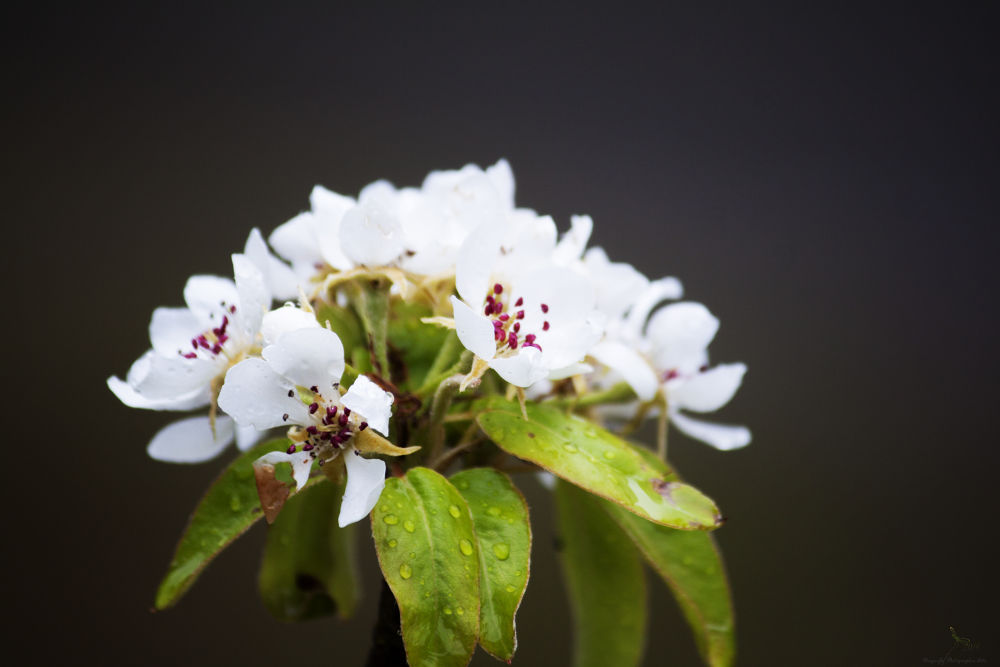 Cherry Blossoms by Dragonfly Photographic Arts