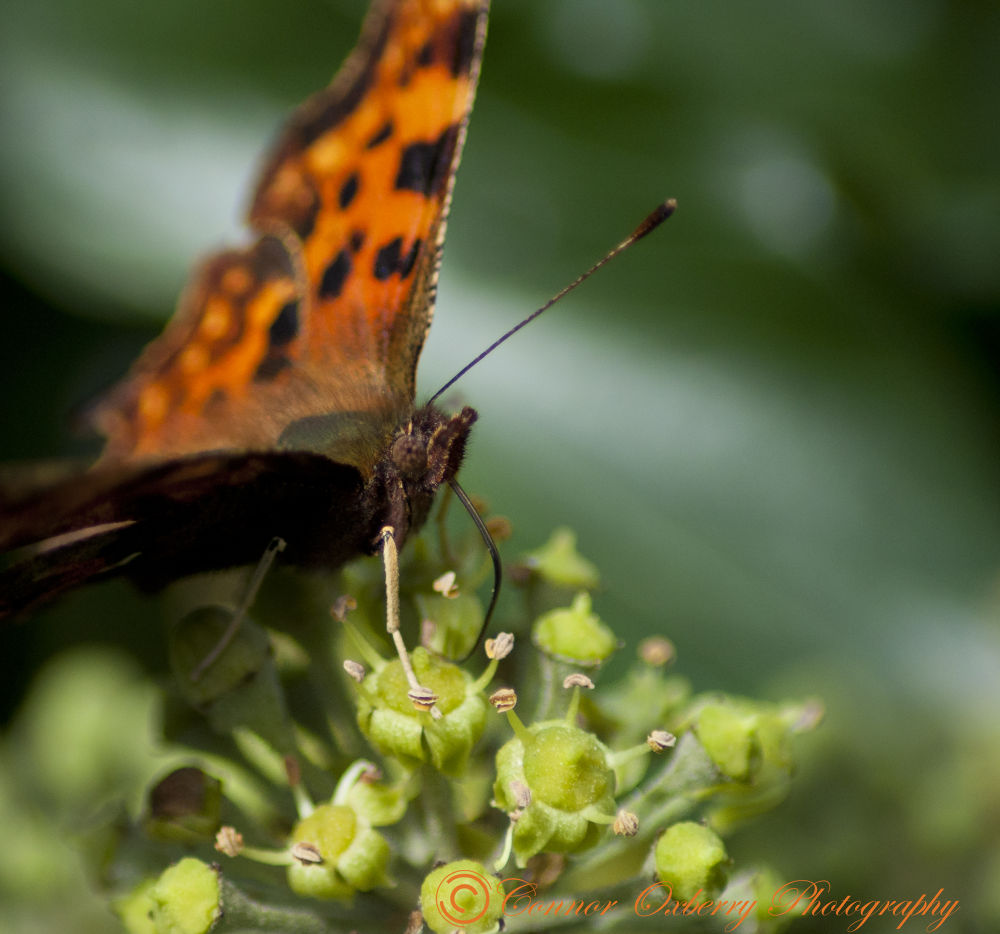 Butterfly by Connor Oxberry Photography