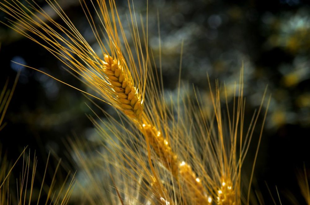 Wheat spike 2 by ɹǝǝʞɐq ɯǝs∀