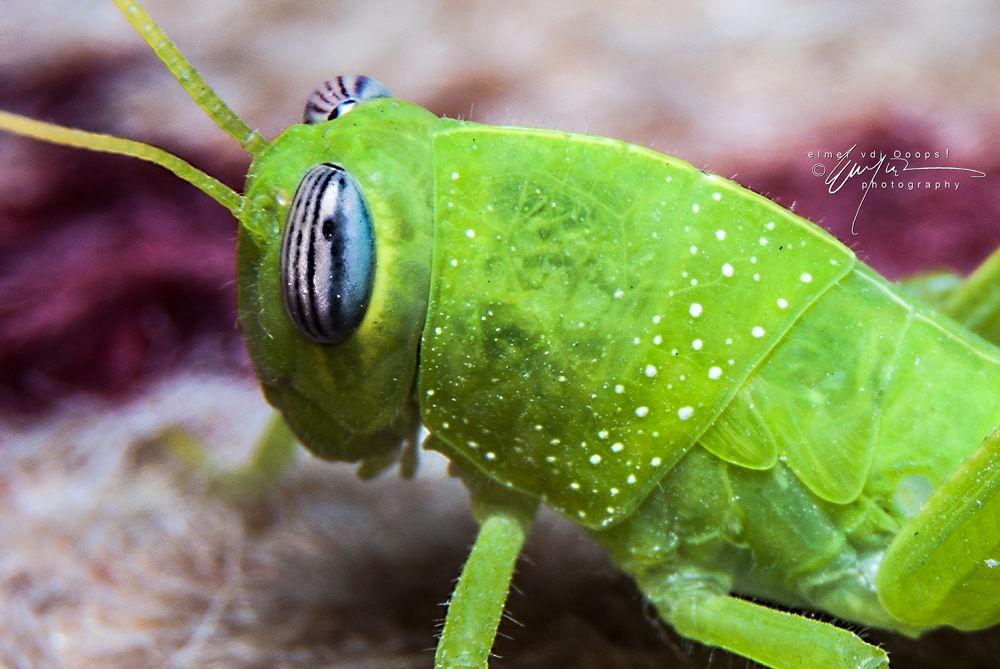 Mini Grasshopper by vdjooops06