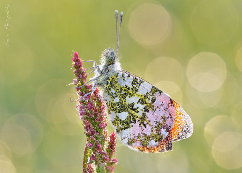 Anthocharis cardamines - small polish butterfly  by sauce
