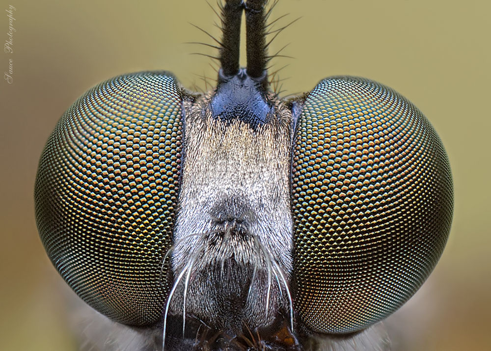 Robber fly by sauce