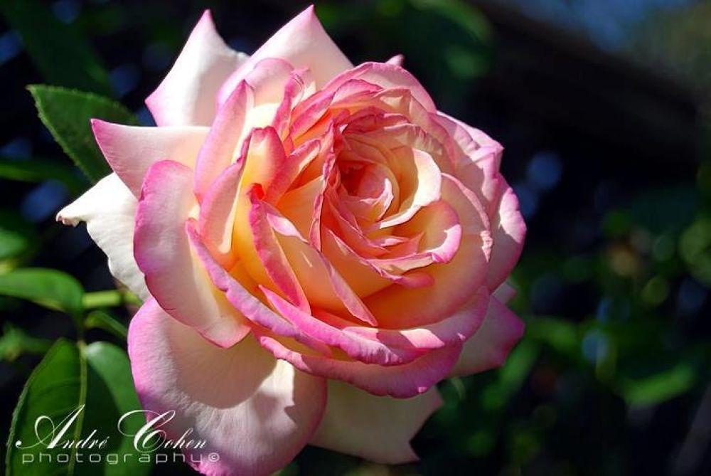 roserose2 by Andre Cohen