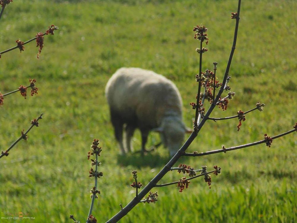 Sheep by Rui Cruz