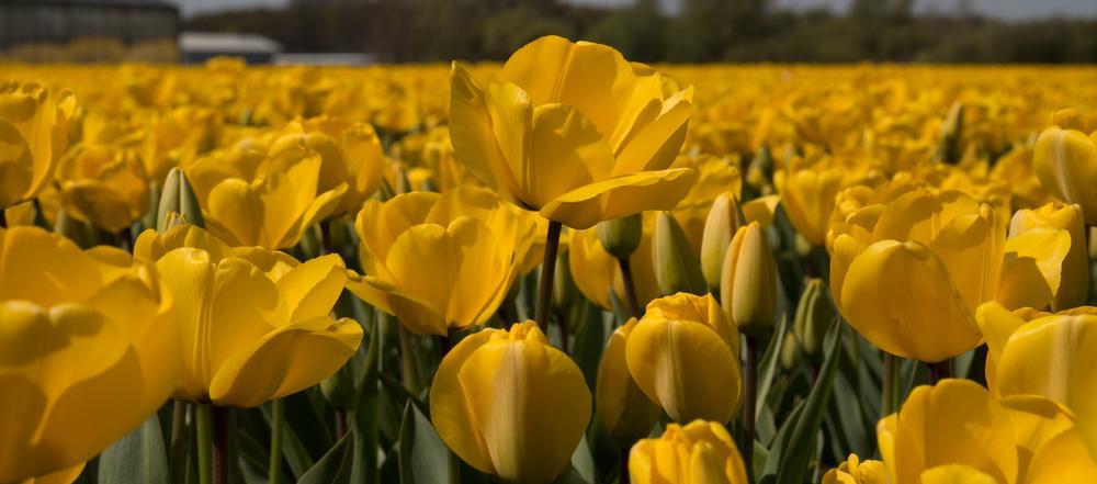 champs de tulipes by Michel Garot