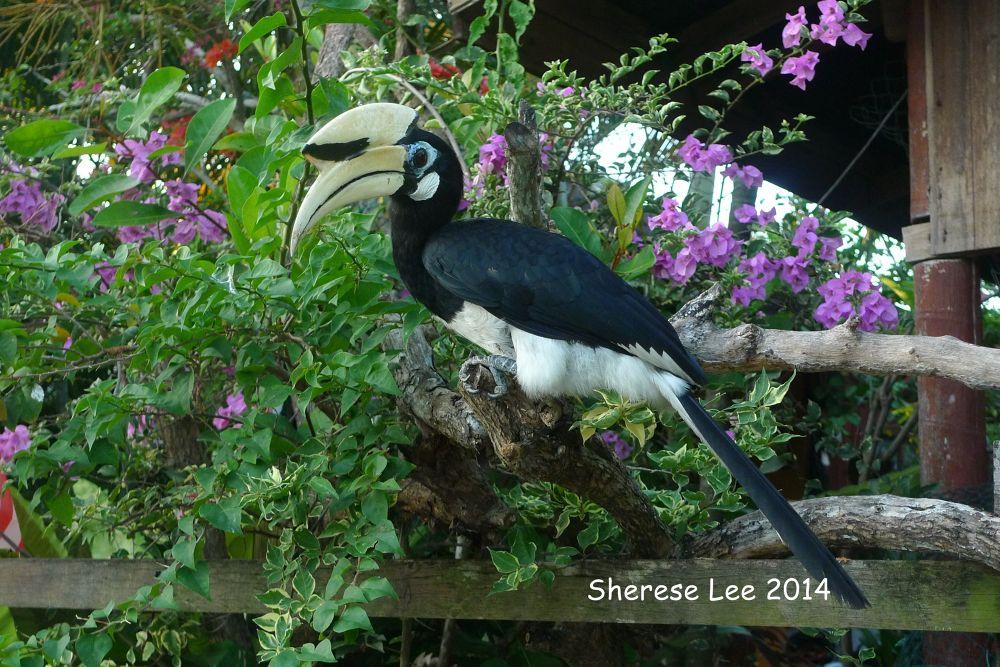 Hornbill Of Sarawak by shereselee