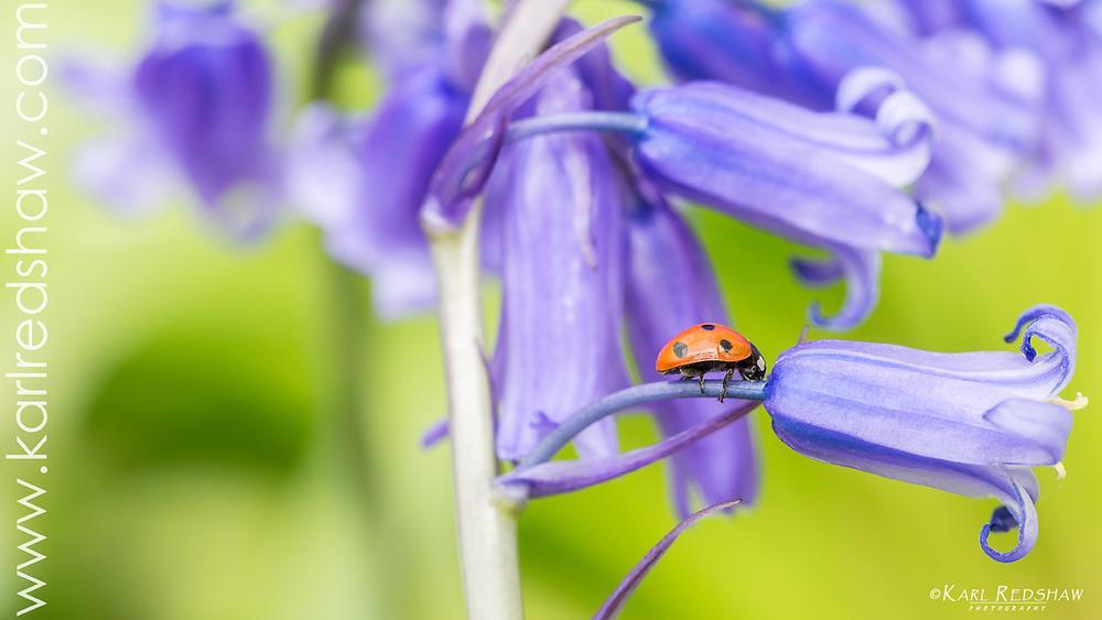 Photo in Macro #bluebell #ladybird #flower #macro