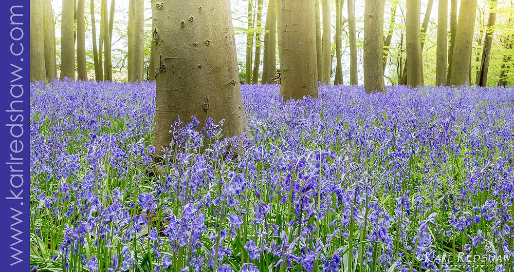 Photo in Landscape #bluebell #woods #flowers #trees