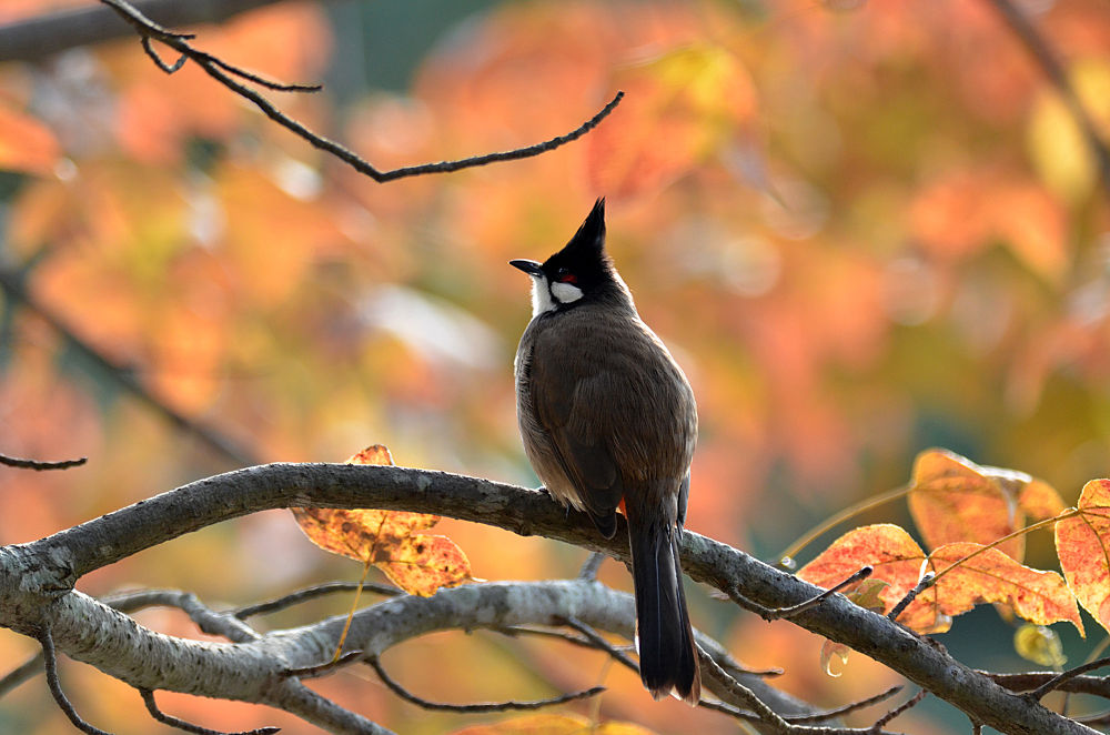 Red-whiskered Bulbul by Johnny_Suen
