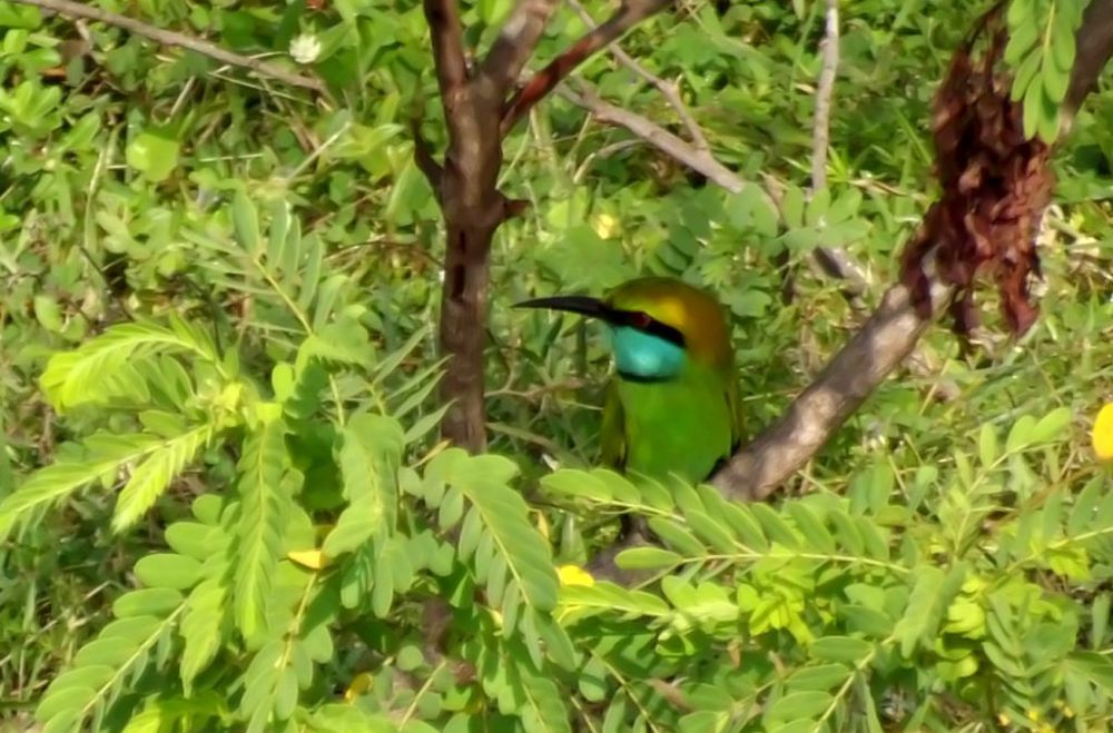 green bee-eater2 enhanced by Chris Roughley