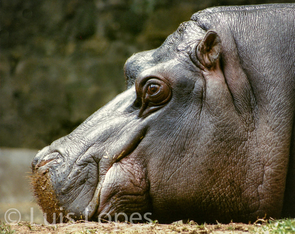 hippo- by LuisLopes