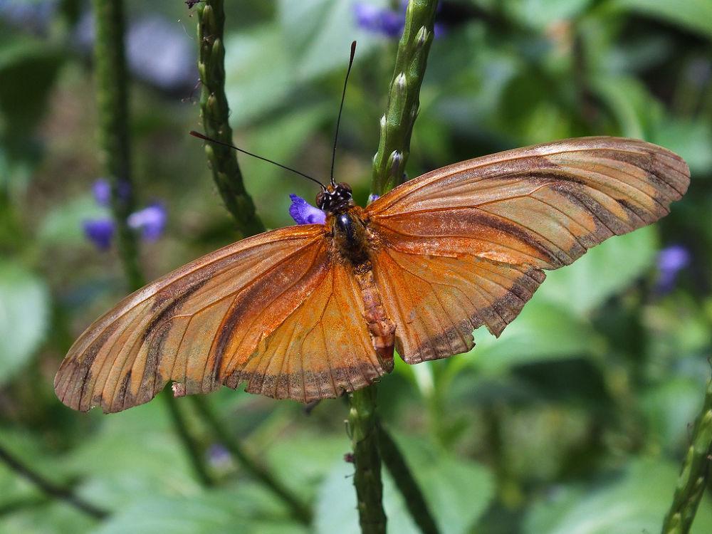 Dryas iulia, female, butterfly, borboleta by Rui Oliveira Santos