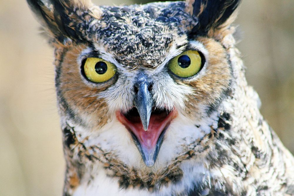 beautiful_owl by Lalit