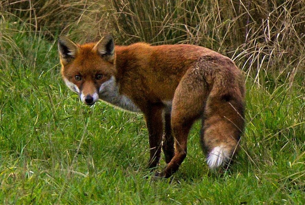 fox 3 by jeff