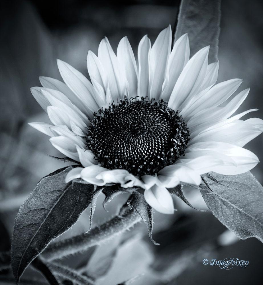 Sunflower by Imagevixen
