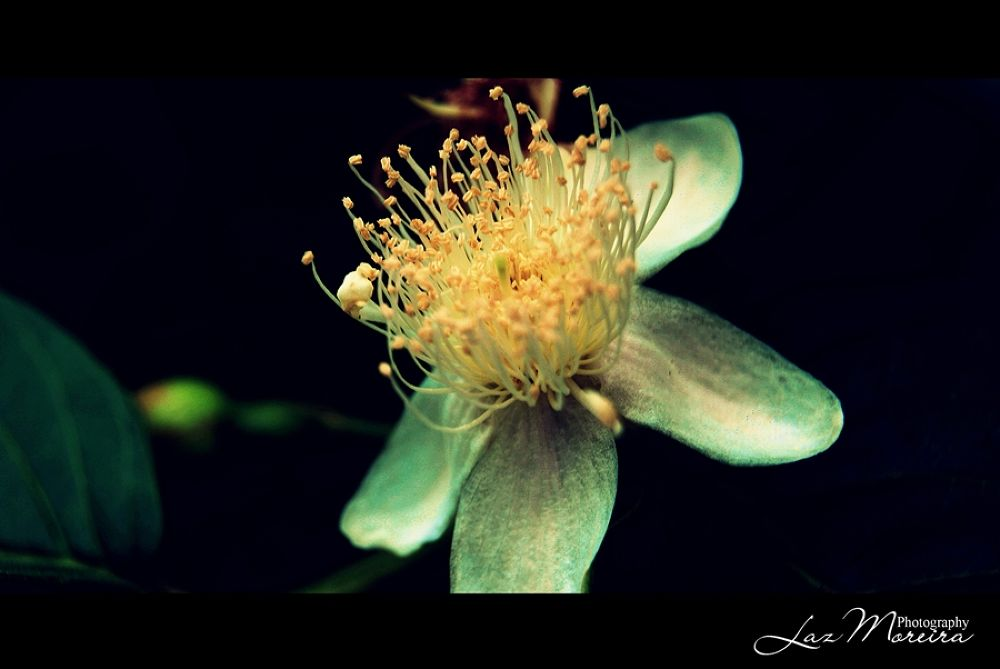 Flower by Lazmoreira