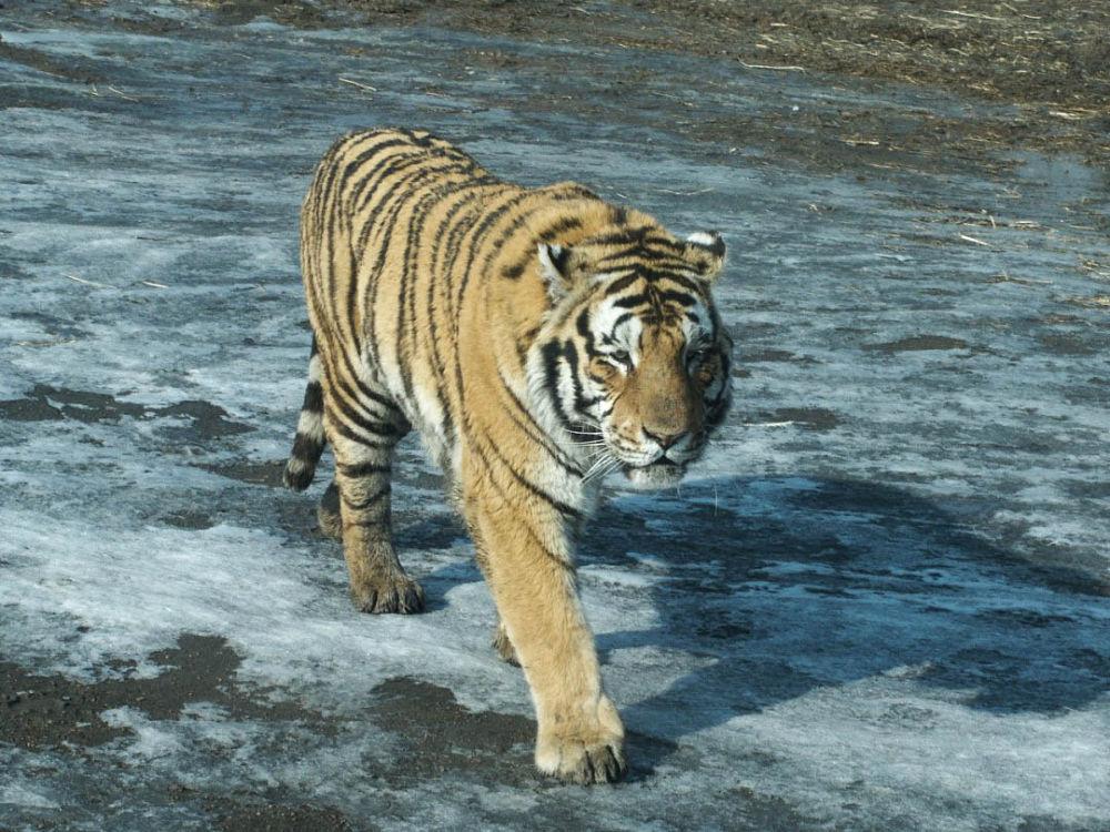 Harbin-Tiger-Park-136 by Arie Boevé