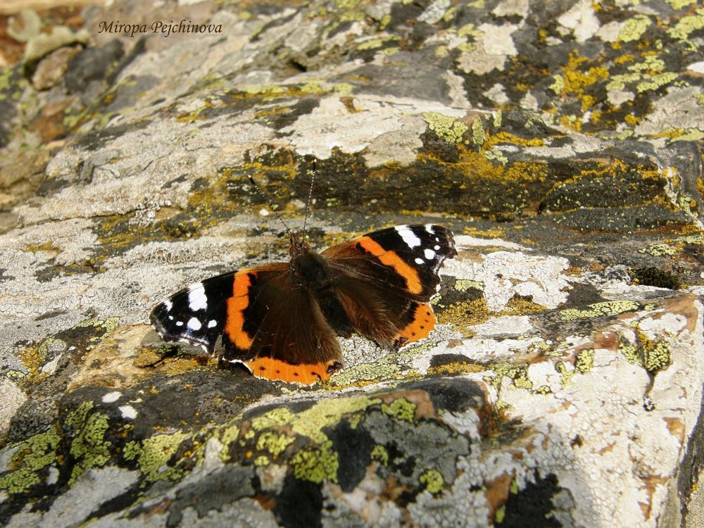 butterfly by miropa