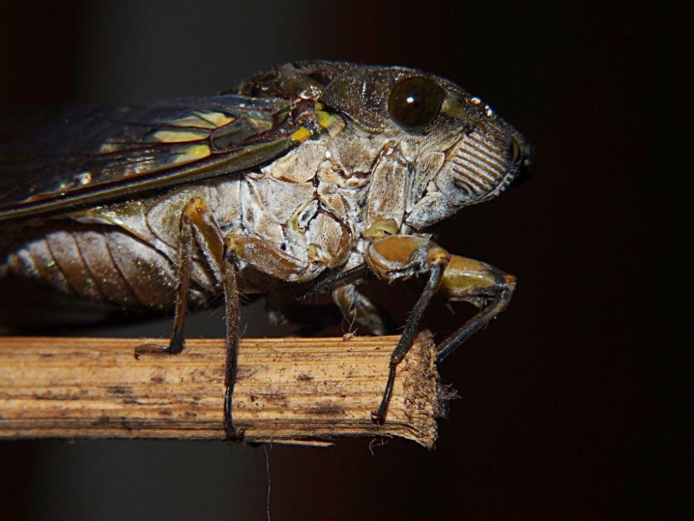 cigarra, cicada by Rui Oliveira Santos