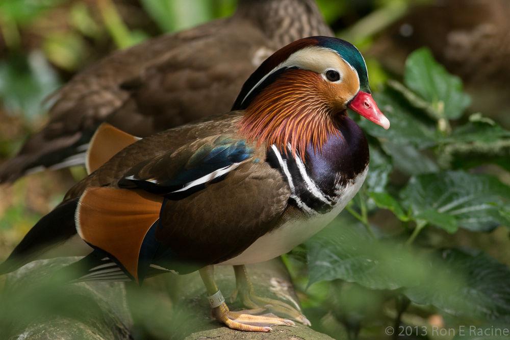 Mandarin Duck by RonERacine