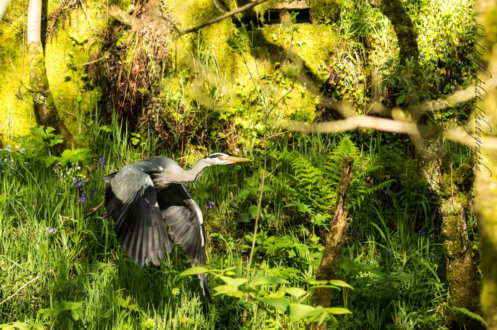 Photo in Nature #grey #heron #flying #healey #dell #nature #reserve #rochdale #whitworth #vincent #yates
