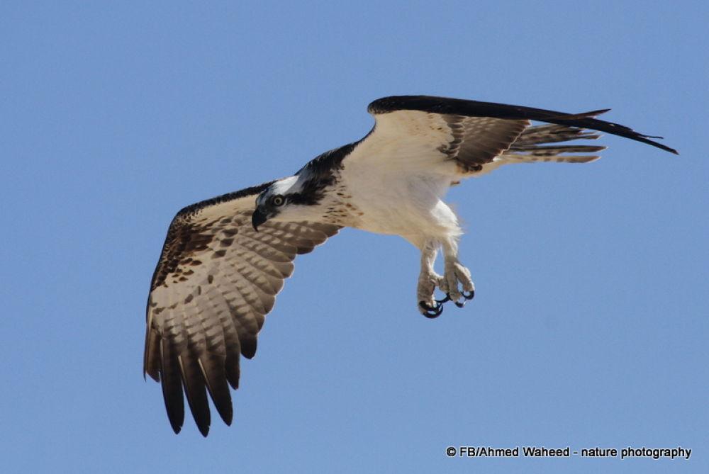 Osprey by awaheed