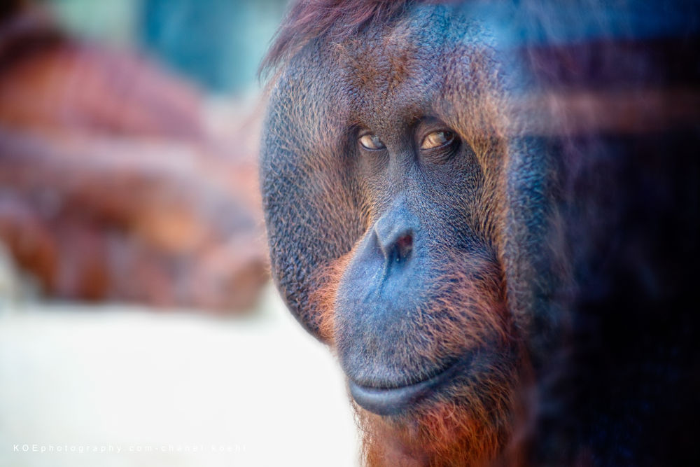 Photo in Animal #orang-outan #singe #primate #homme #regards #roux #zoo #canon 5d