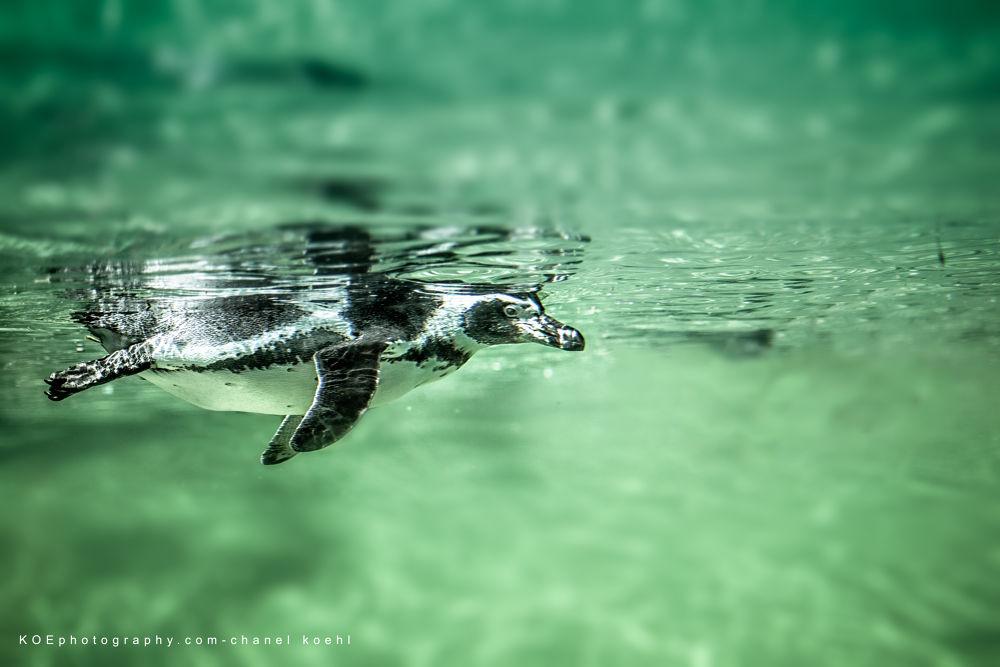 Photo in Animal #machot #pingouin #eau #vert #canon 5d #zoo #sauvage
