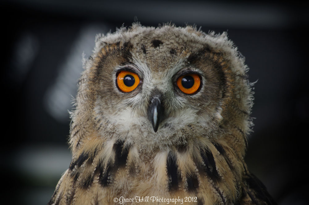 Nyra the Golden Eagle Owl by Grace_Eliz