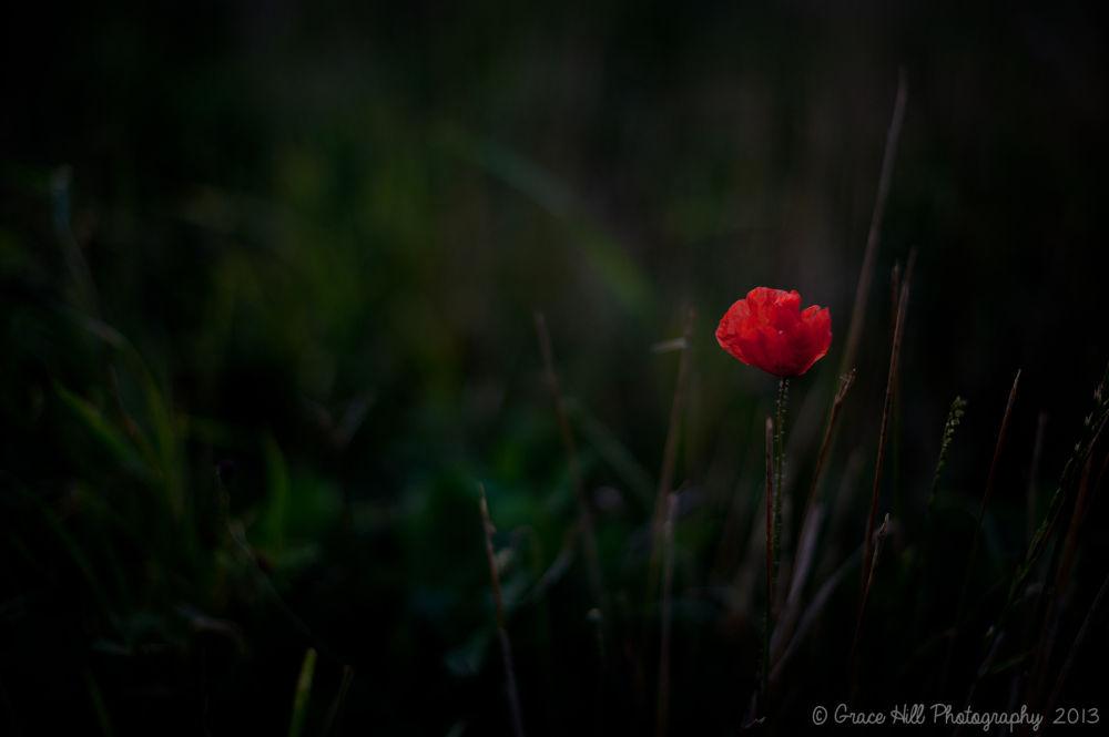 Lone Poppy by Grace_Eliz