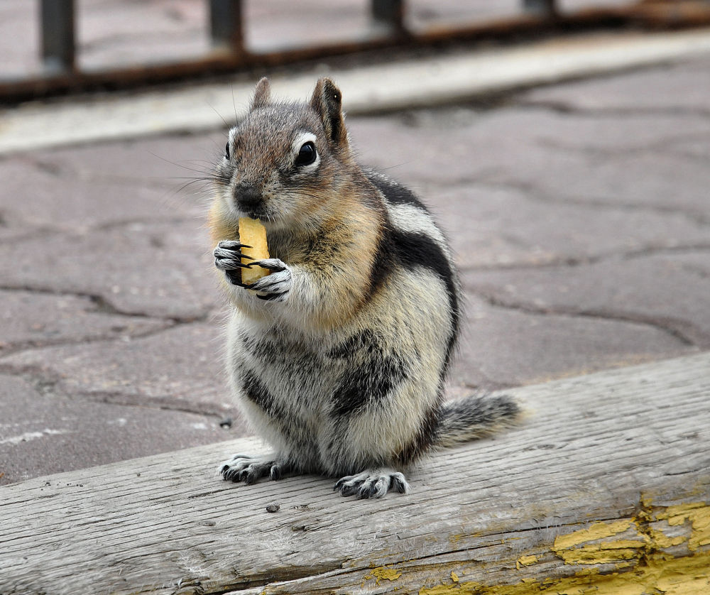 Chipmunk snacking by Pure Nature by Wendy Erlendson