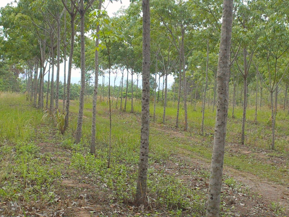 Rubber Trees, Isaan, NE Thailand. by johnclipsters