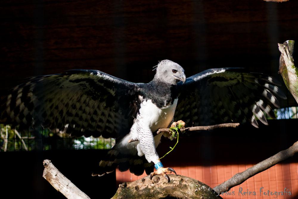 Aguila Arpia by jesrei
