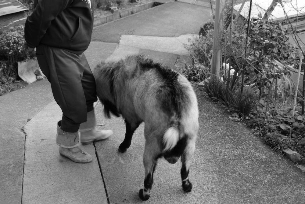goat by Hiroshi_Kume