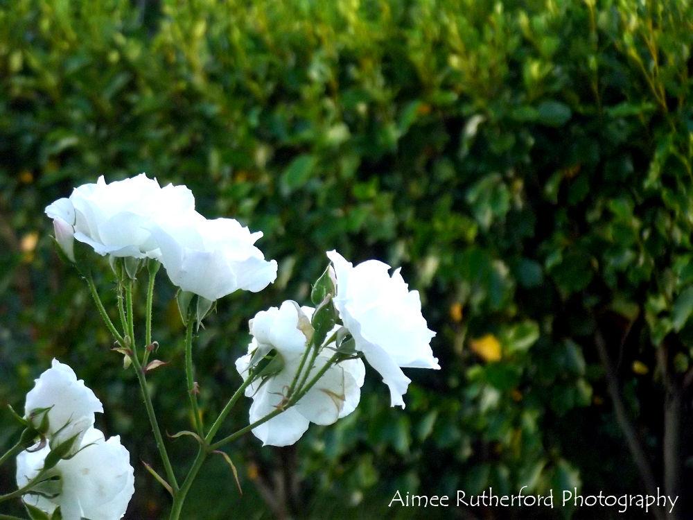Roses&Rain by AimeesPhotography