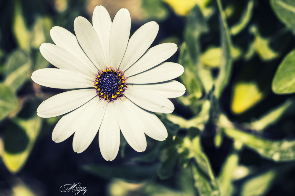Flower 2 by Marco Magdy