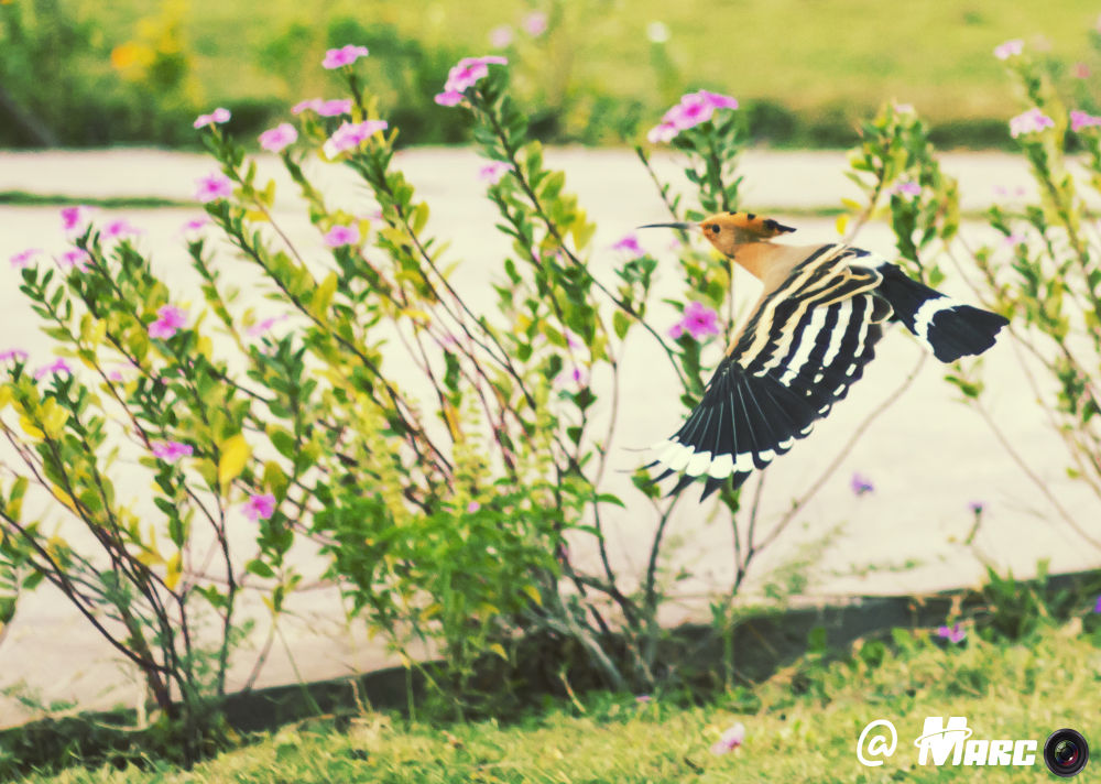 Hoopoe by Marco Magdy
