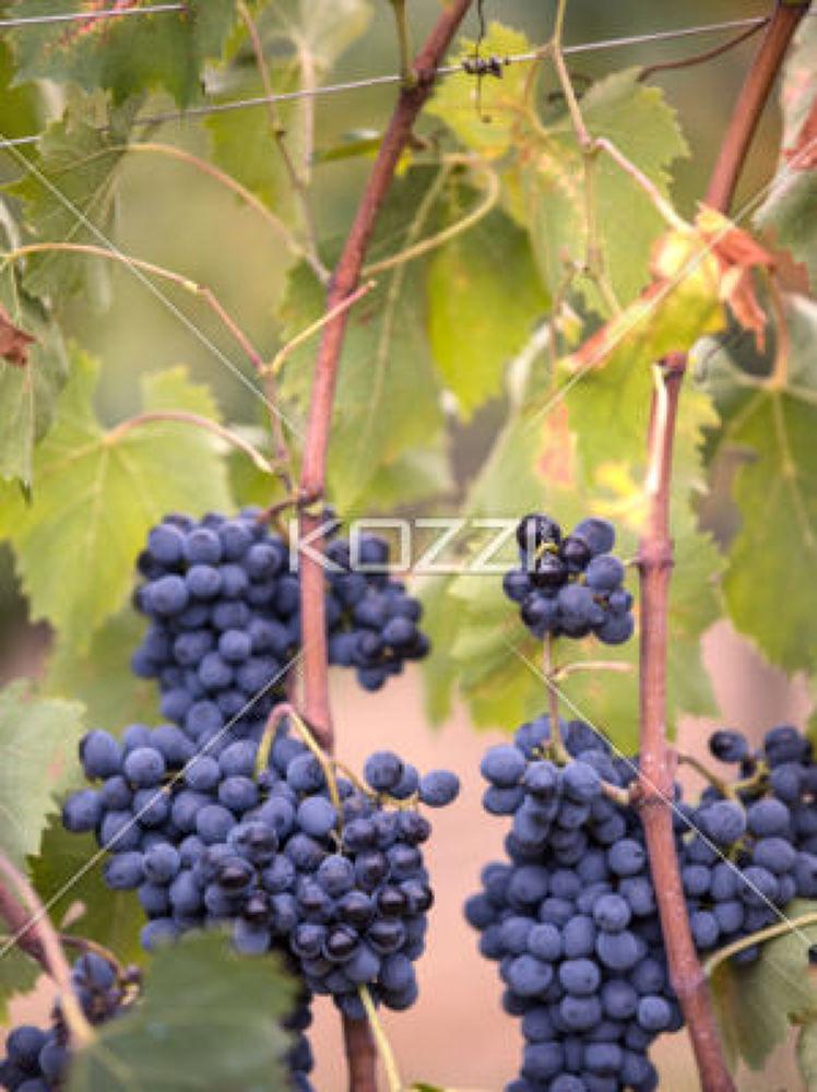bunch of tuscany grapes by Brish