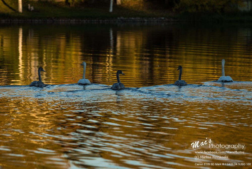Swan family by Mac's Photography