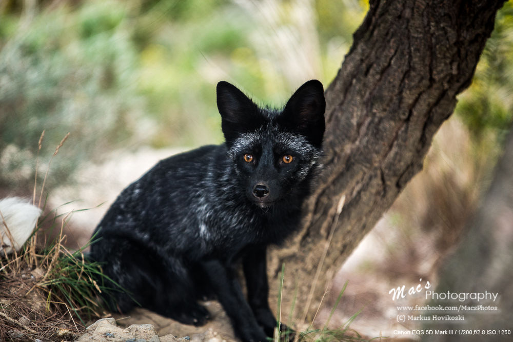 Black fox at Peña Escrita by Mac's Photography