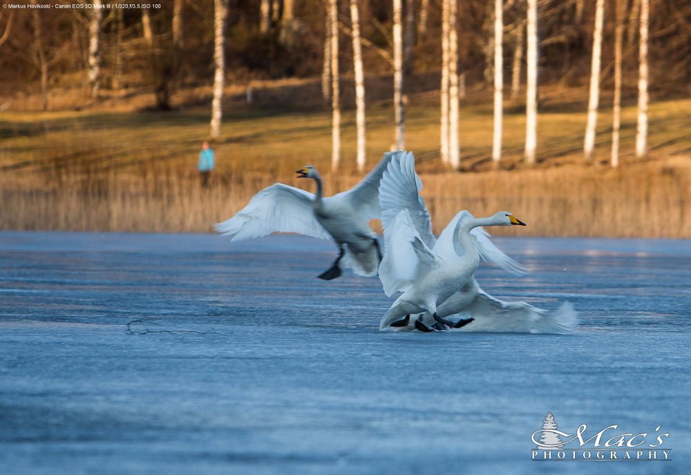 Swans had little territorial fight on the frozen lake #2 by Mac's Photography