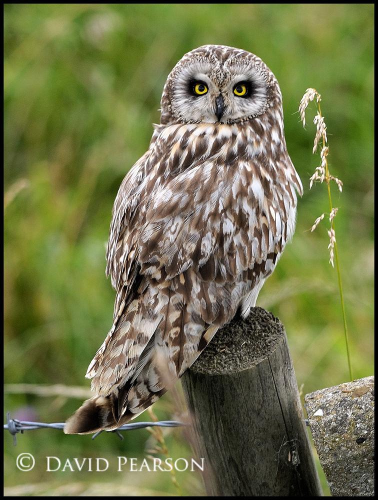 Short Eared Owl by David Pearson