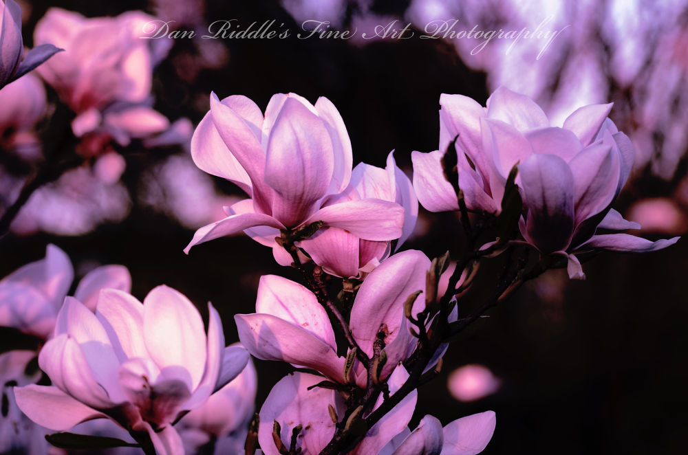 tulip tree by Dan Riddle's Fine Art Photography