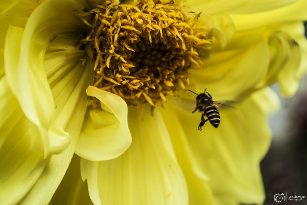 Bee by Ivan Tiamzon